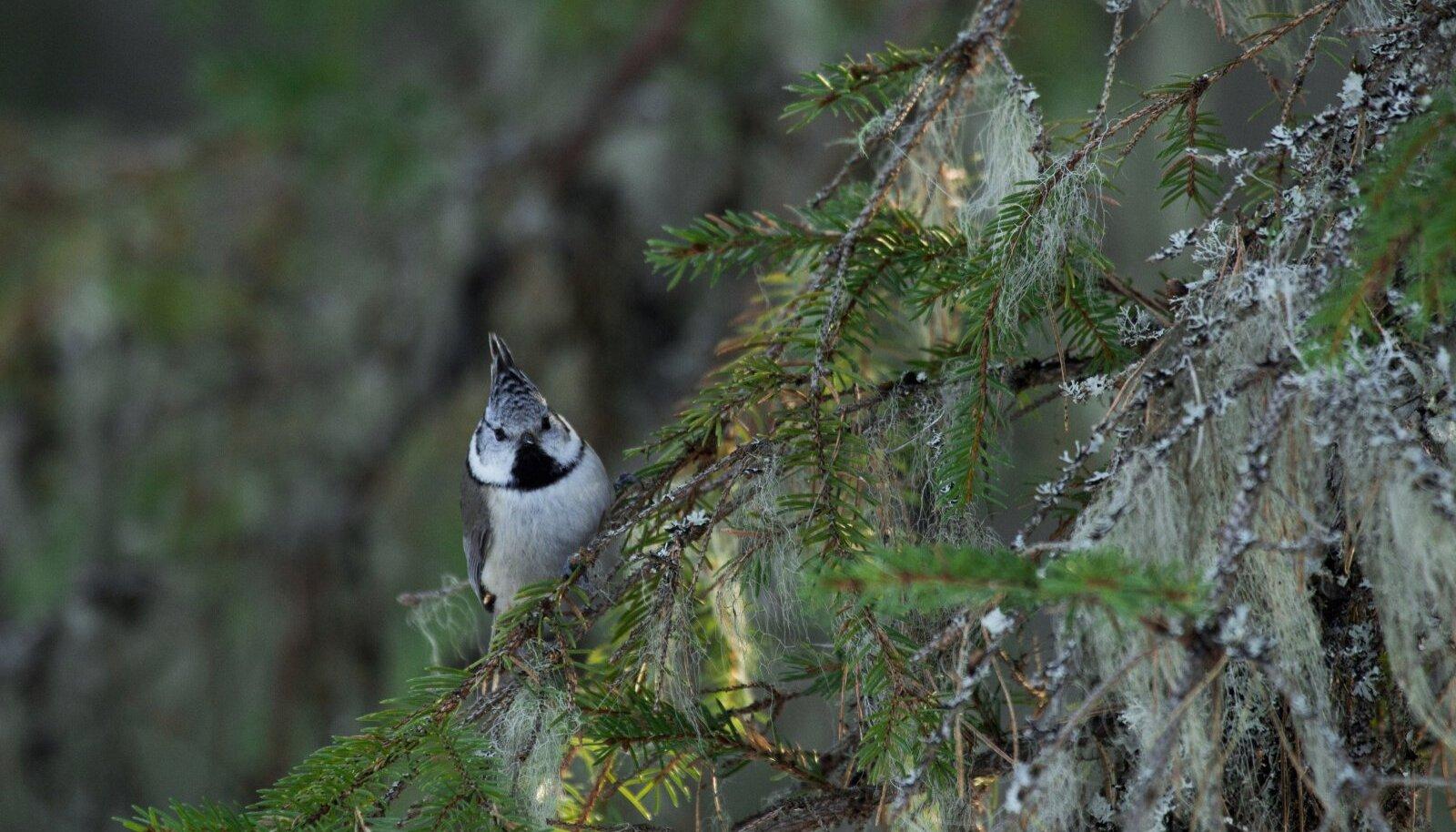 Terav musta-valgekirju suletutt hoiab teda lahus muudest tihastest, andes linnukesele nime ning reipa ja asjaliku väljanägemise.