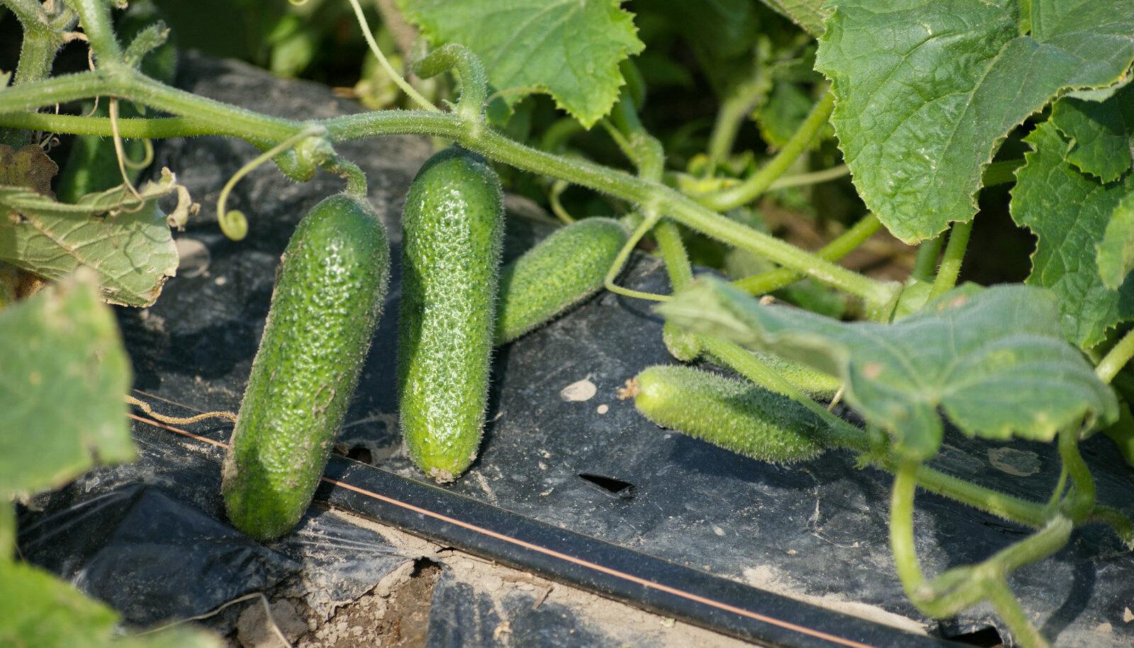 Kurgid ei kasva Eesti põllul ka juunikuus ilmataadi armust.