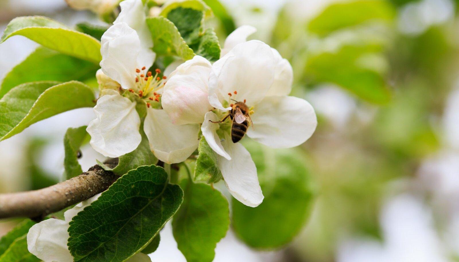 Pühapäevani, mil mesilased said esimest korda terve päeva lennata, oli tolmeldamise aeg mesilastele kehv.