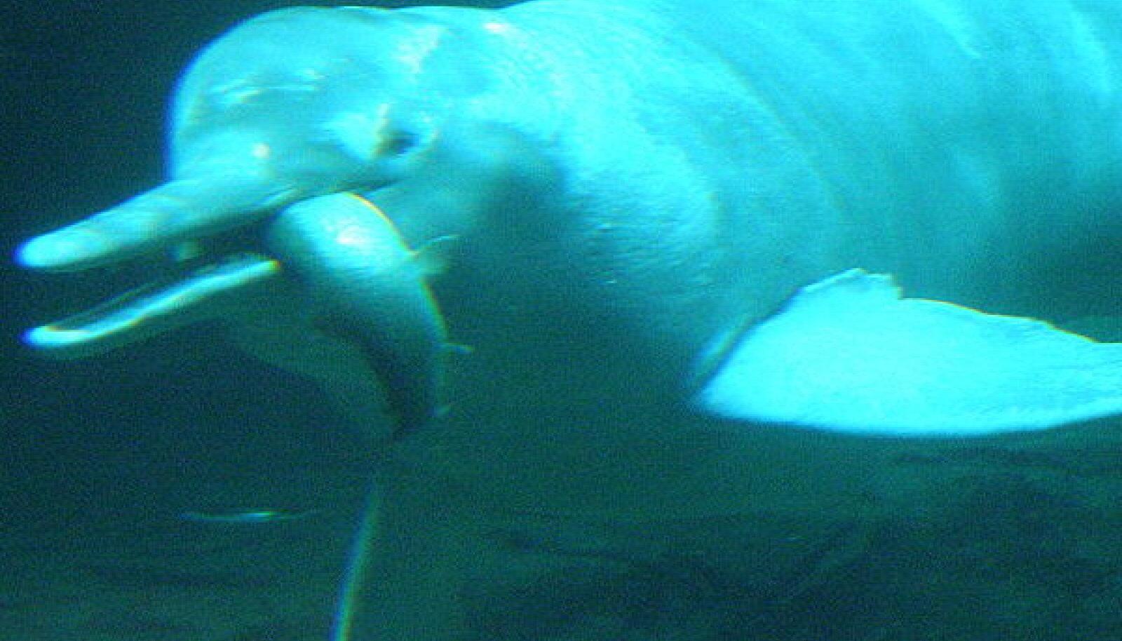 Jangtse jõedelfiin ehk baiji (Lipotes vexillifer). techtastico.com