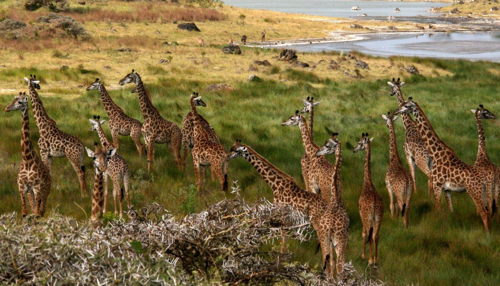 Kaelkirjakud Arusha rahvuspargis.