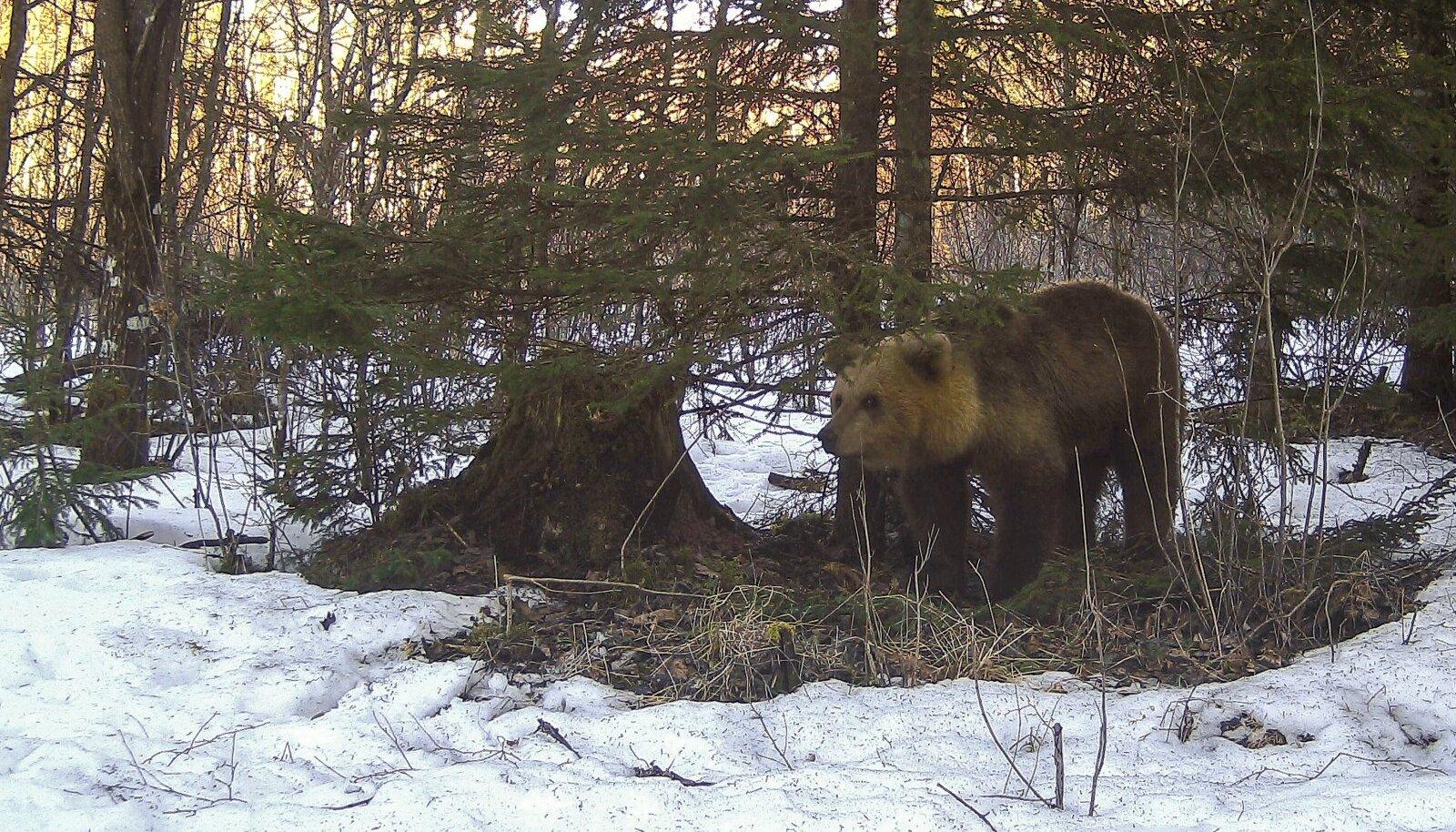 Toitu otsib karu enamasti lõhna järgi ja võib mitu tundi pärituult appi võttes nuusutada, kas ehk ei ole kuskil mõnda raibet.