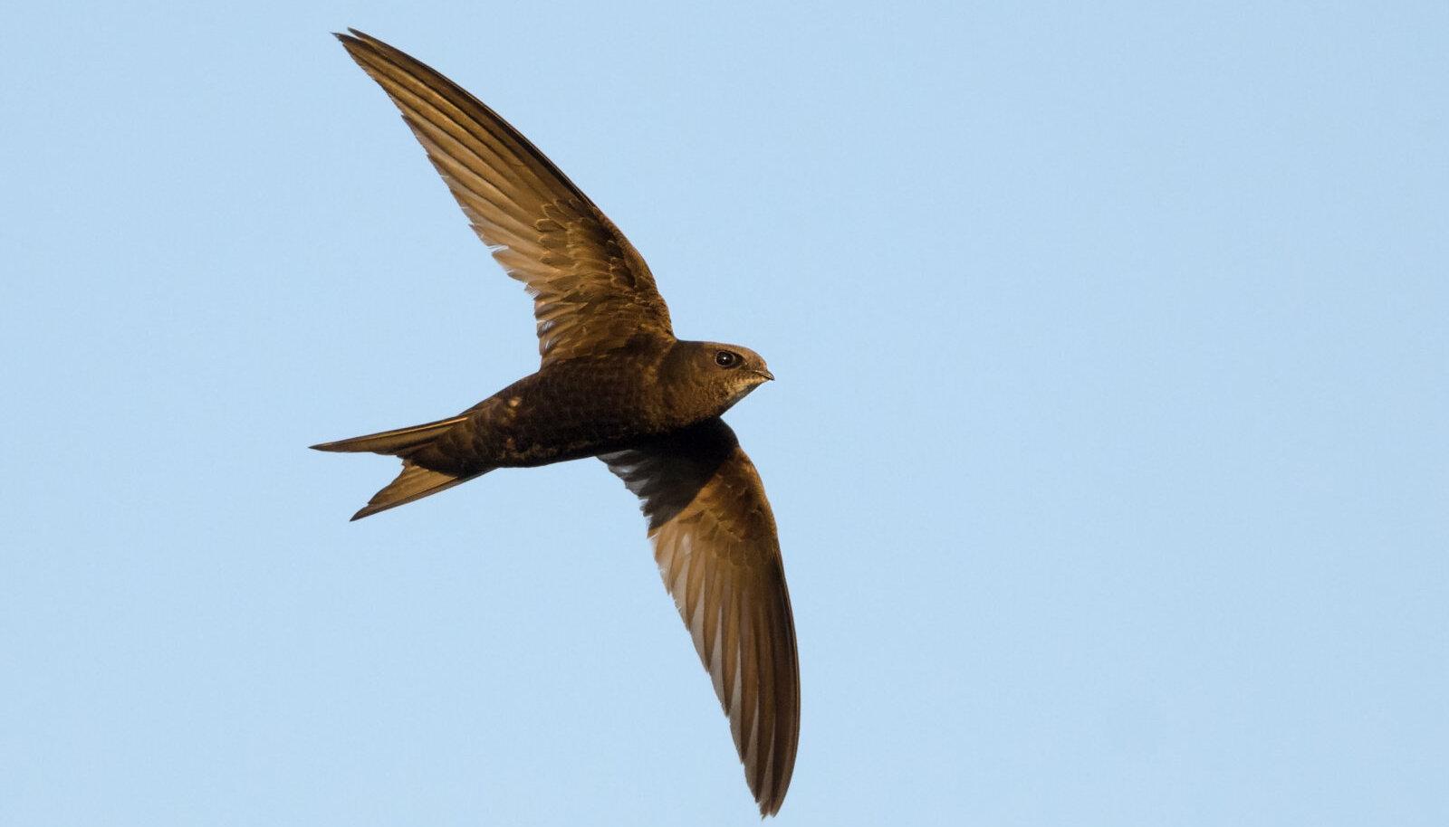 Piiritaja magab, sööb ja paaritub õhus ning suudab lennata meeletult pikki vahemaid