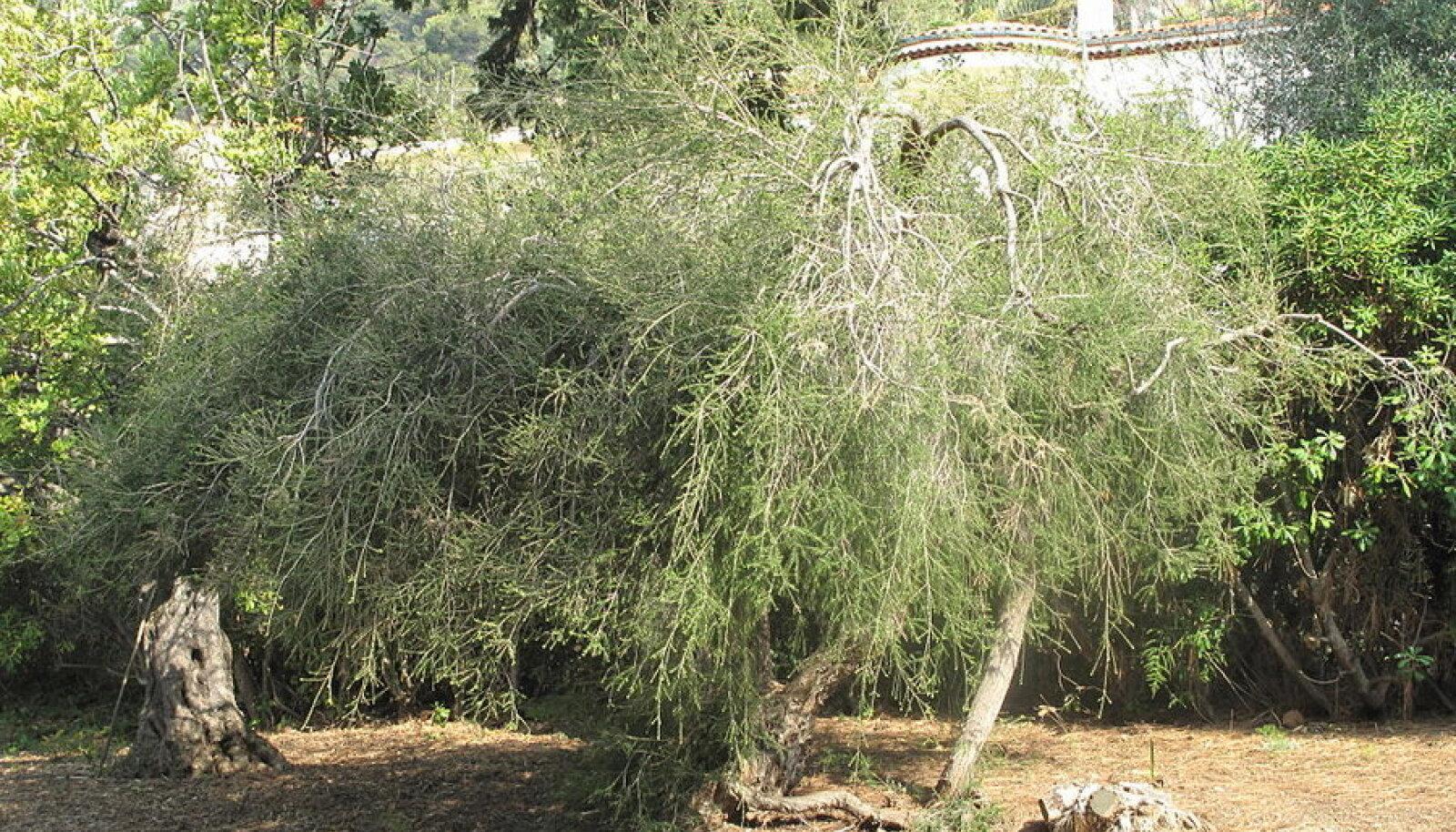Tee-melaleuka (Melaleuca alternifolia)