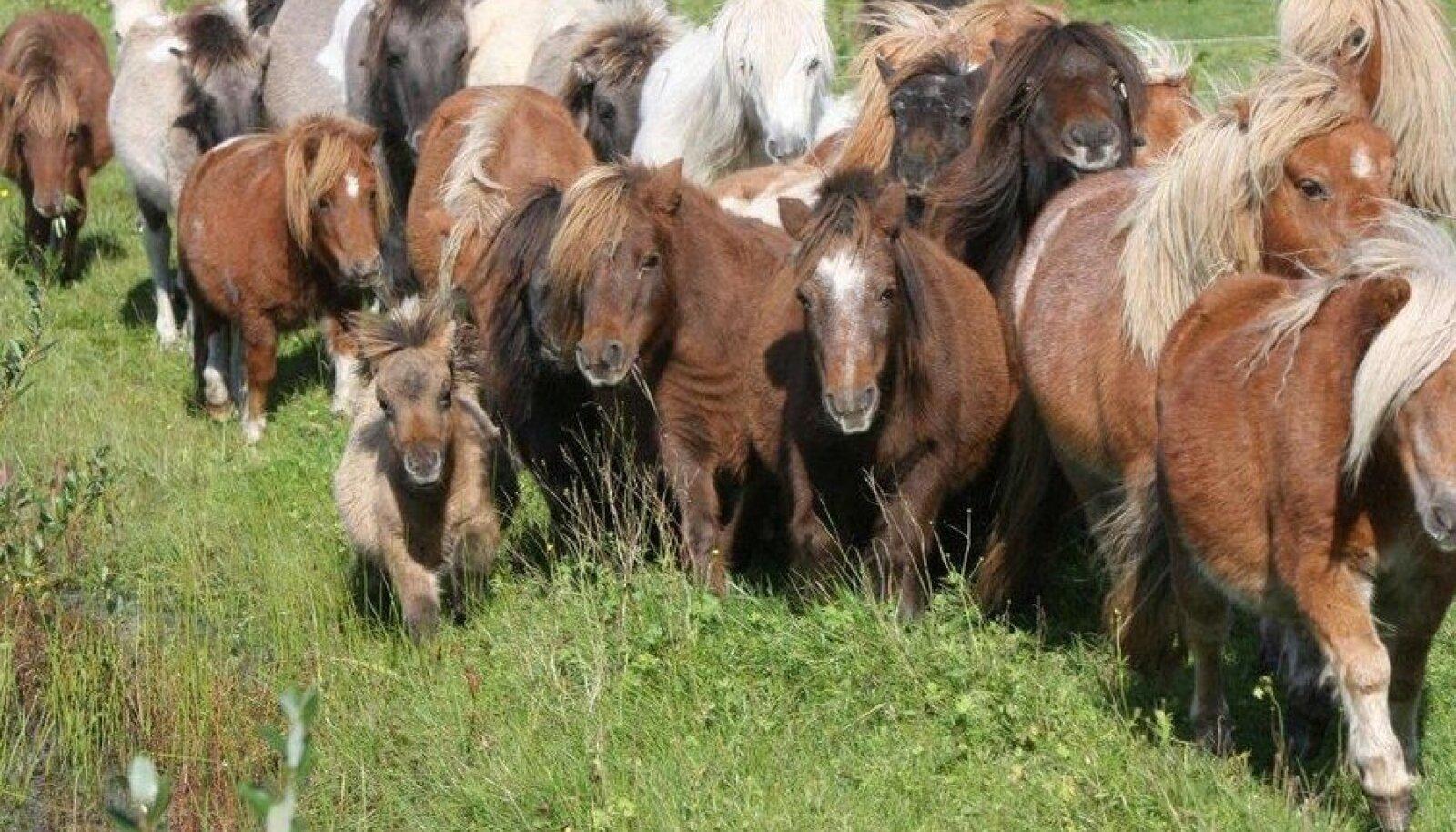 Šetlandi ponid Pärnumaal Raja talus 2010. aasta suvel. Foto on illustratiivne.