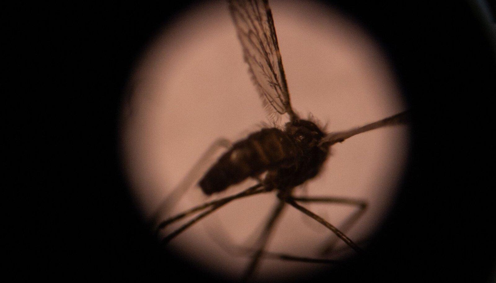 Malaaria edasikandjaks on sääsed, kelle hammustusel inimesed nakatuvad.