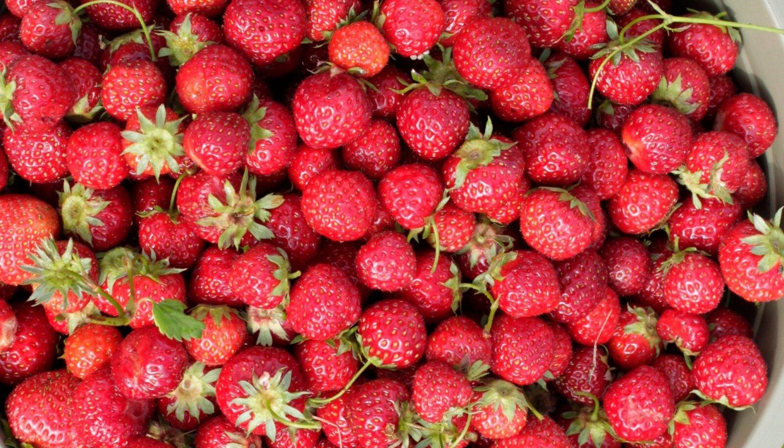 Kõige maitsvam on maasikas ikka siis, kui see otse peenralt tuleb.