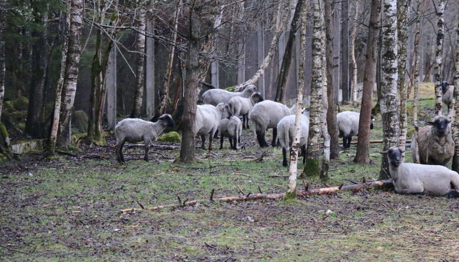 Eesti Energia juhile ja Eesti ühele suuremale lambakasvatajale Hando Sutterile kuuluvates AS-is Saaremaa Ökoküla lammaste ja MTÜ-s Ökoabi šoti mägiveiste eest hoolt kandnud neli töötajat lahkusid päevapealt töölt.  Meie Maa