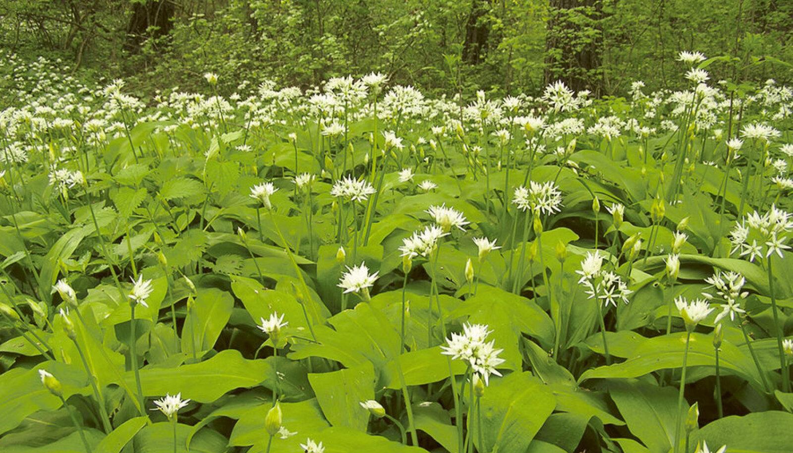 Lopsakate roheliste lehtedega karulauk õitseb mais-juunis.