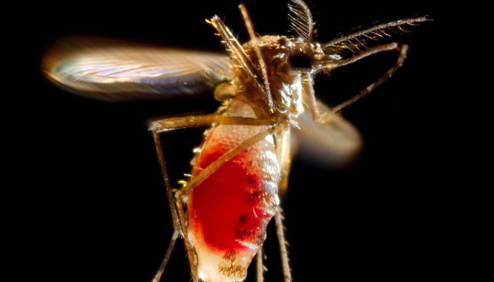 Kõht värsket verd täis, lendab emane Aedes aegypti oma teed.