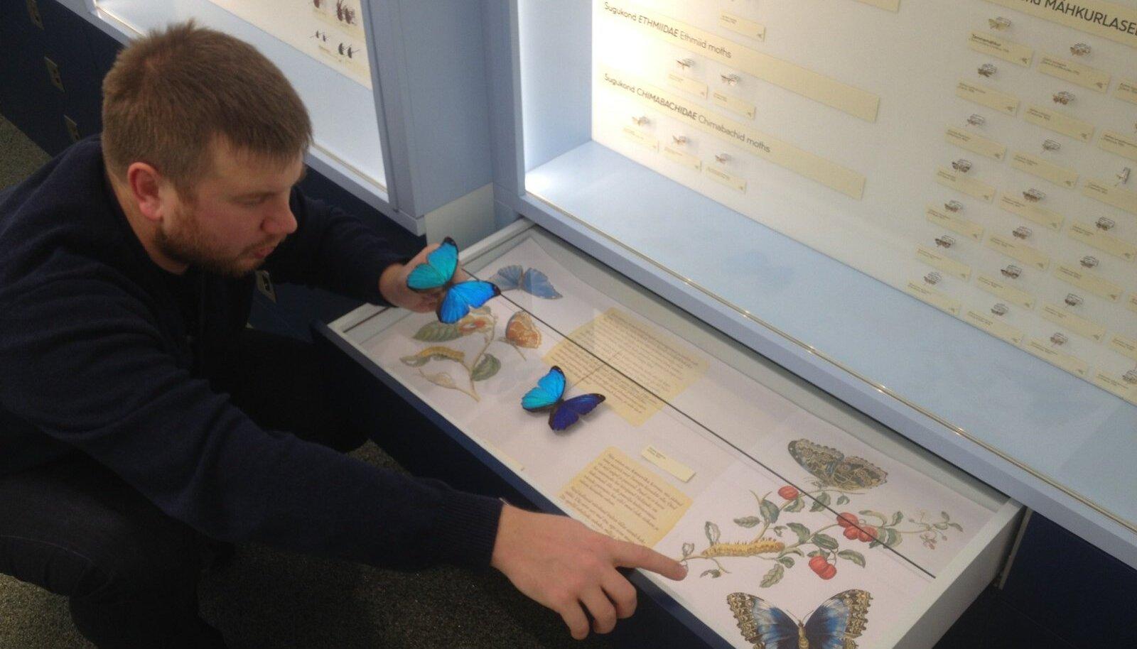 Zooloogiadoktorant Andro Truuverk tutvustab üht eksponaati, koerlibliklasMorpho menelaus'i.