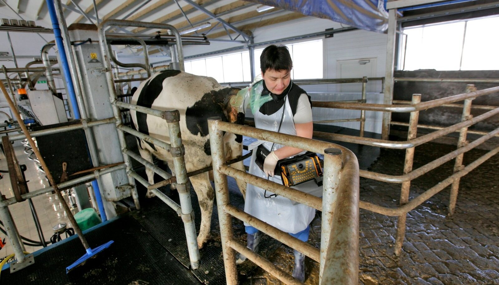 Loomaarst Reet Reimann töötab laudas ka ultraheliaparaadiga.