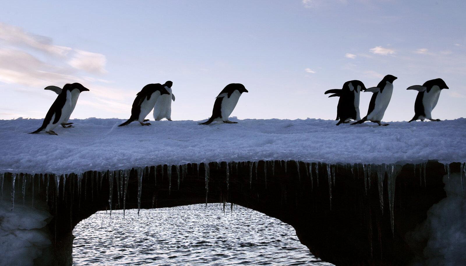 Adelie pingviinid Antartikas õhtusel jalutuskäigul.