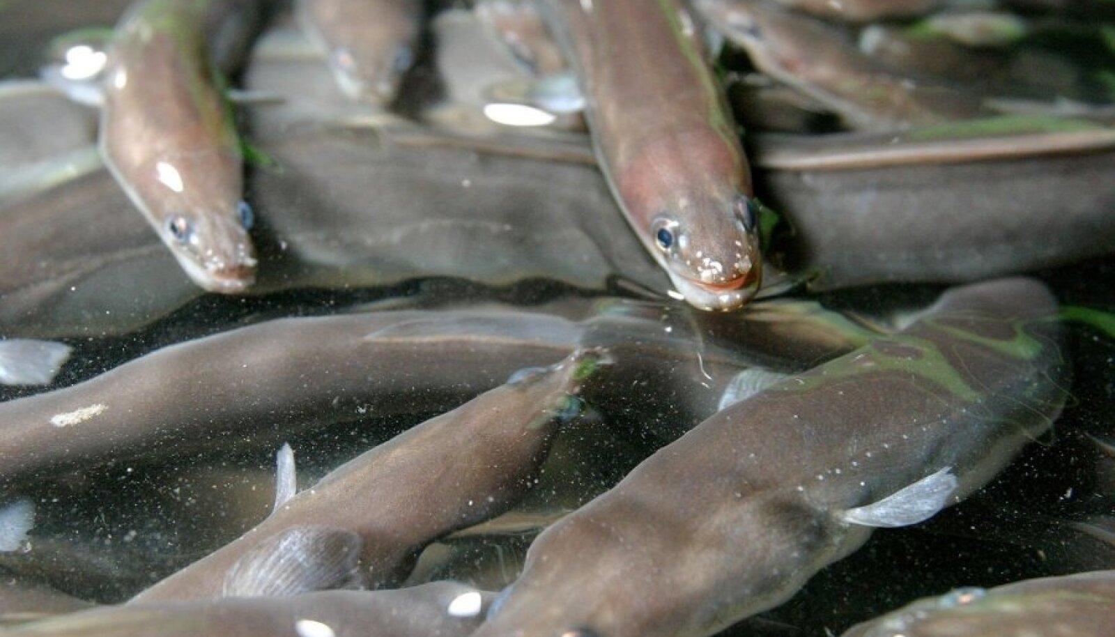Angerjad kalakasvanduses. Foto on illustratiivne.