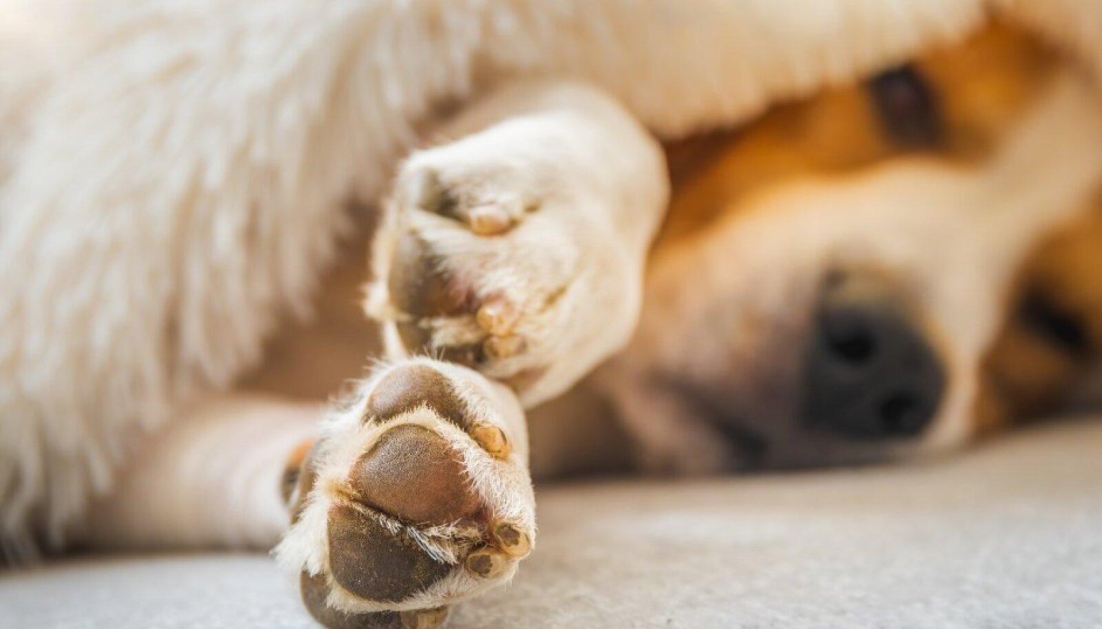 Maniküür ei ole ainult esteetiline küsimus: liiga pikad küüned teevad koerale valu