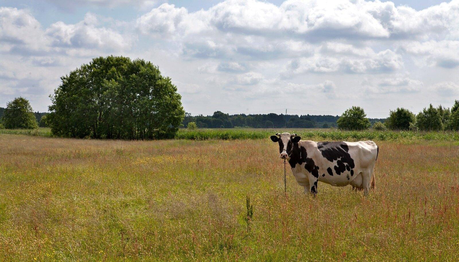 Pildil olev lehm ei ole piiririkkumisega seotud.