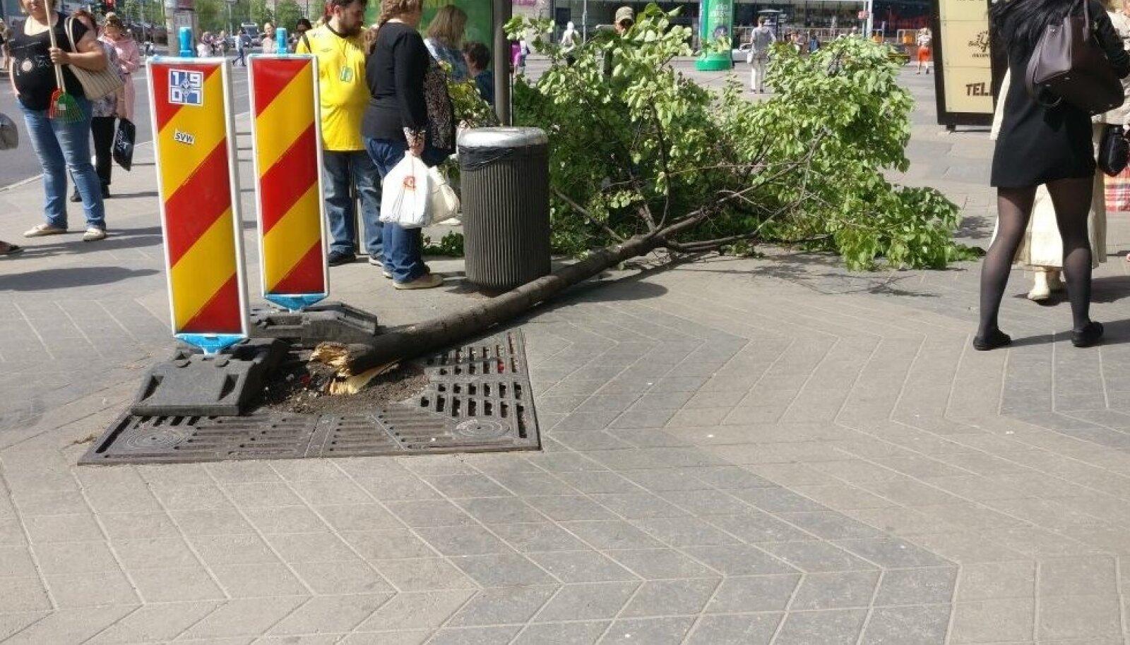 Narva maanteel jõhkralt murdunud puu
