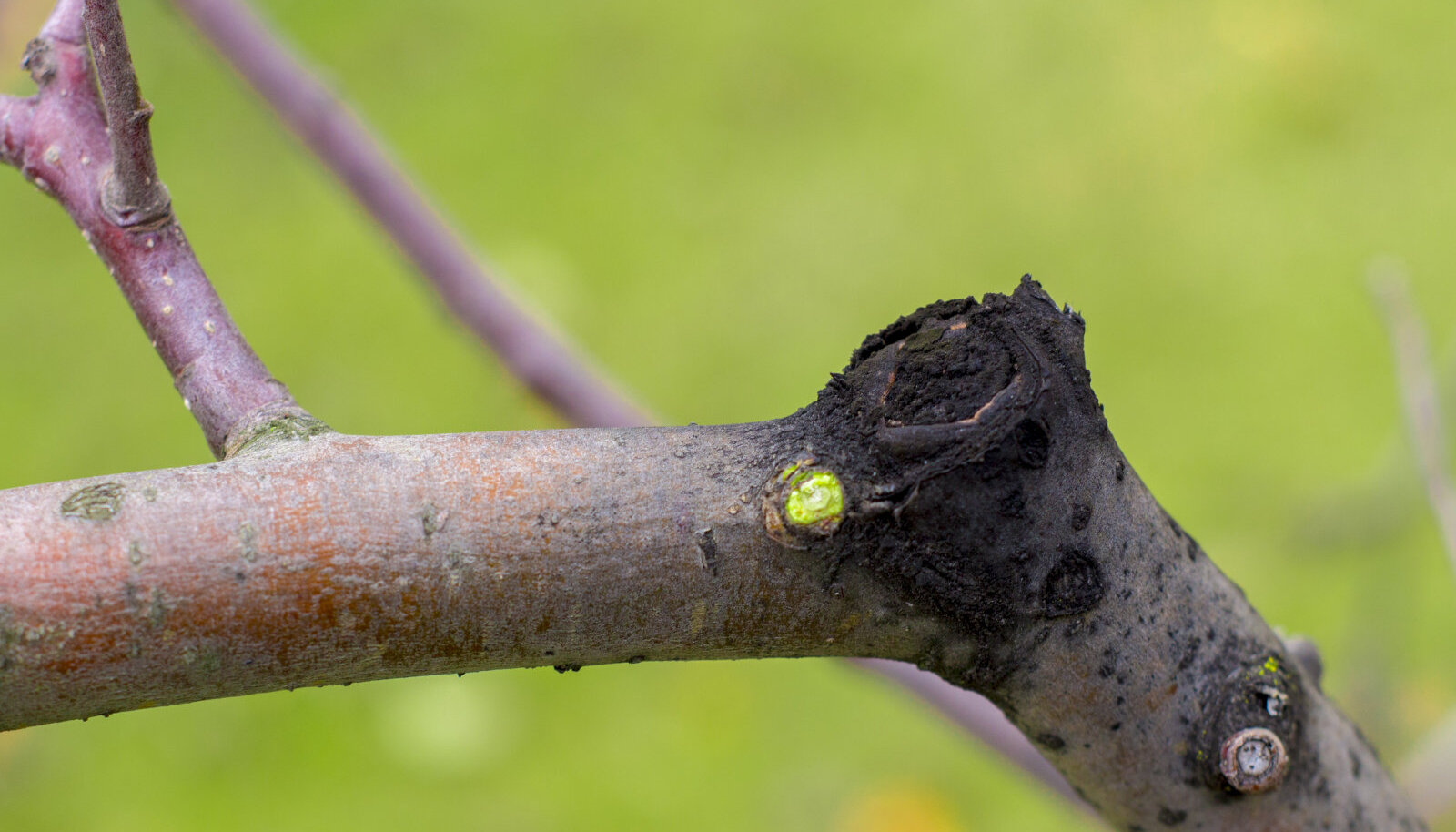 Viljapuu-mustvähk