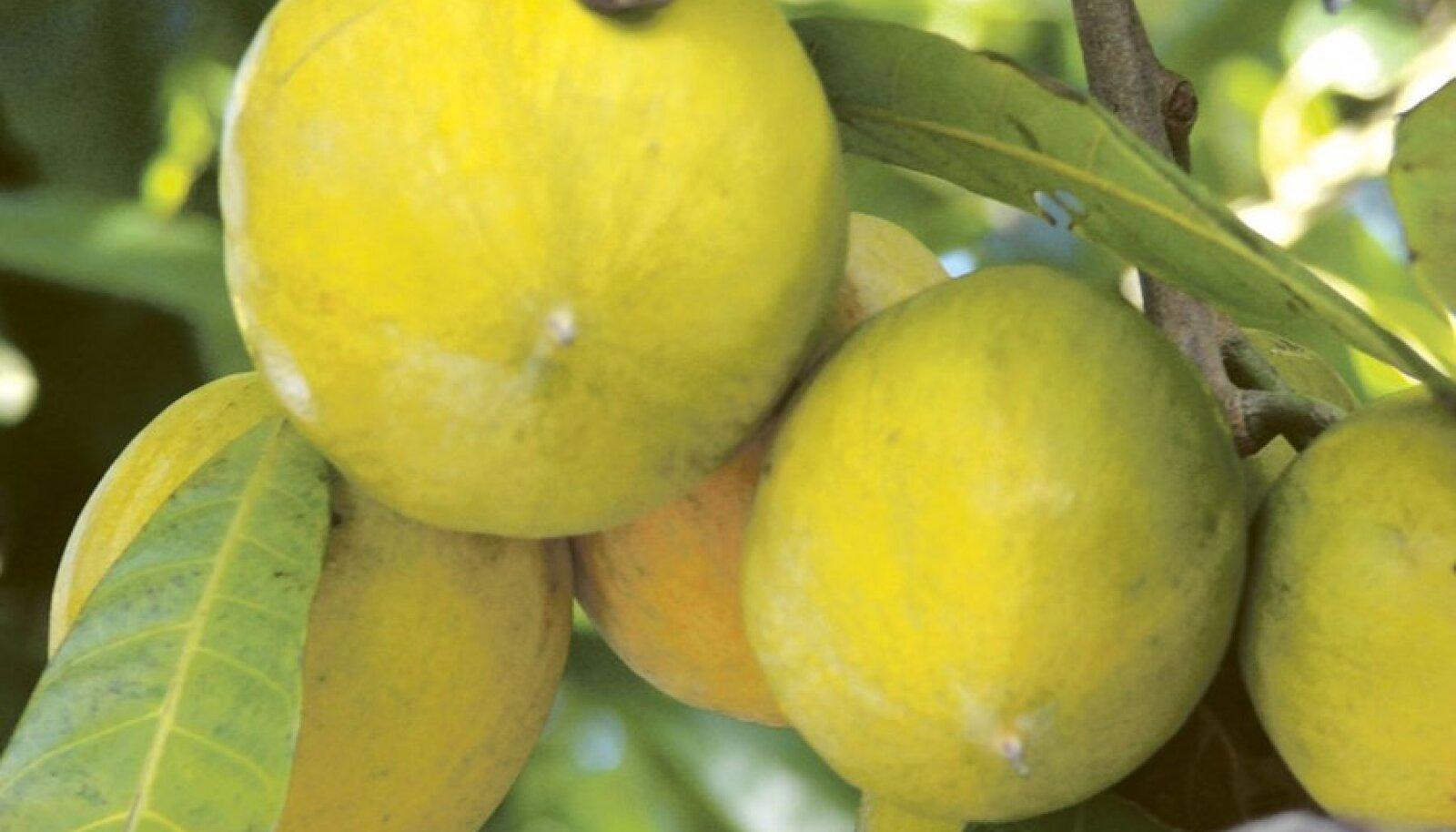 Tekstuurilt ja värvuselt meenutab luukum-marmelaadipuu viljaliha kõvakskeedetud munakollast.