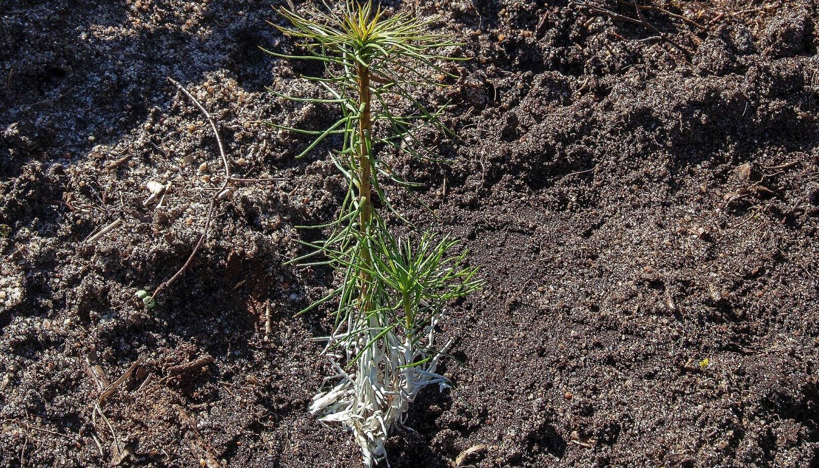 Mände võib istuda nüüd 2600 taime hektarile. Kuna nende kaitsmiseks kärsakate ja ulukite eest on mitmeid võimalusi, siis saab taimede hukkumist ära hoida ja seadu ei pea nii tihe olema. Pildil olevat taime on kärsaka kaitseks töödeldud vahaga.