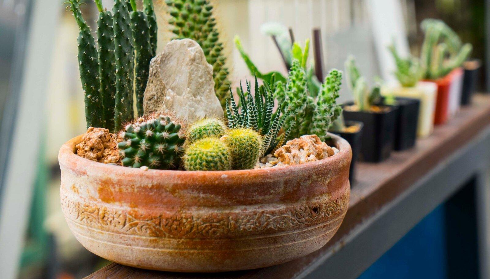 Kaktuseid on tore panna ühte potti kokku, et luua temaatilisi istutusi.