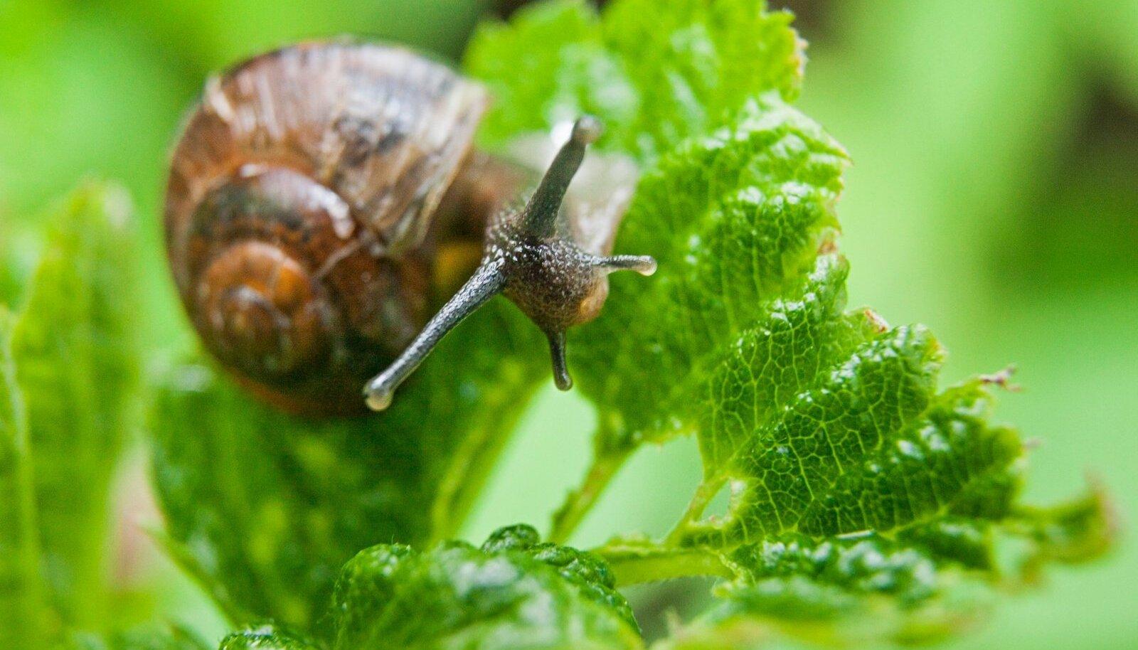 Avinurme:Aedades elavad teod lasevad värskel rohelisel hea maitsta.Pildil:Tigu vaarikalehel.