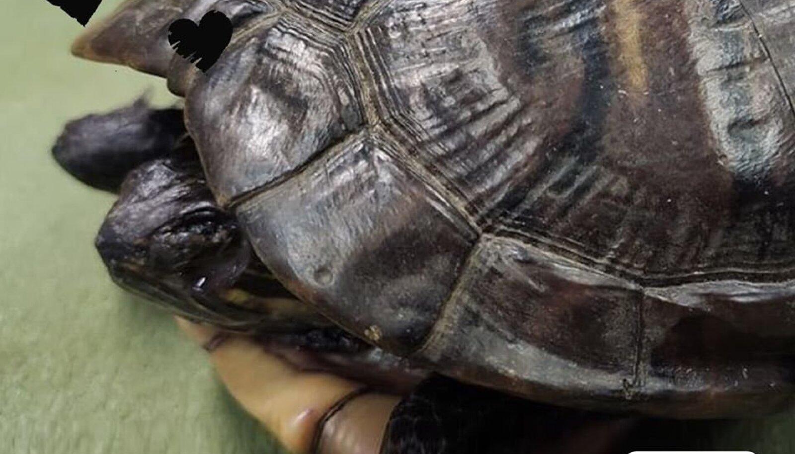 Raudteelt leitud kilpkonna ei õnnestunud päästa