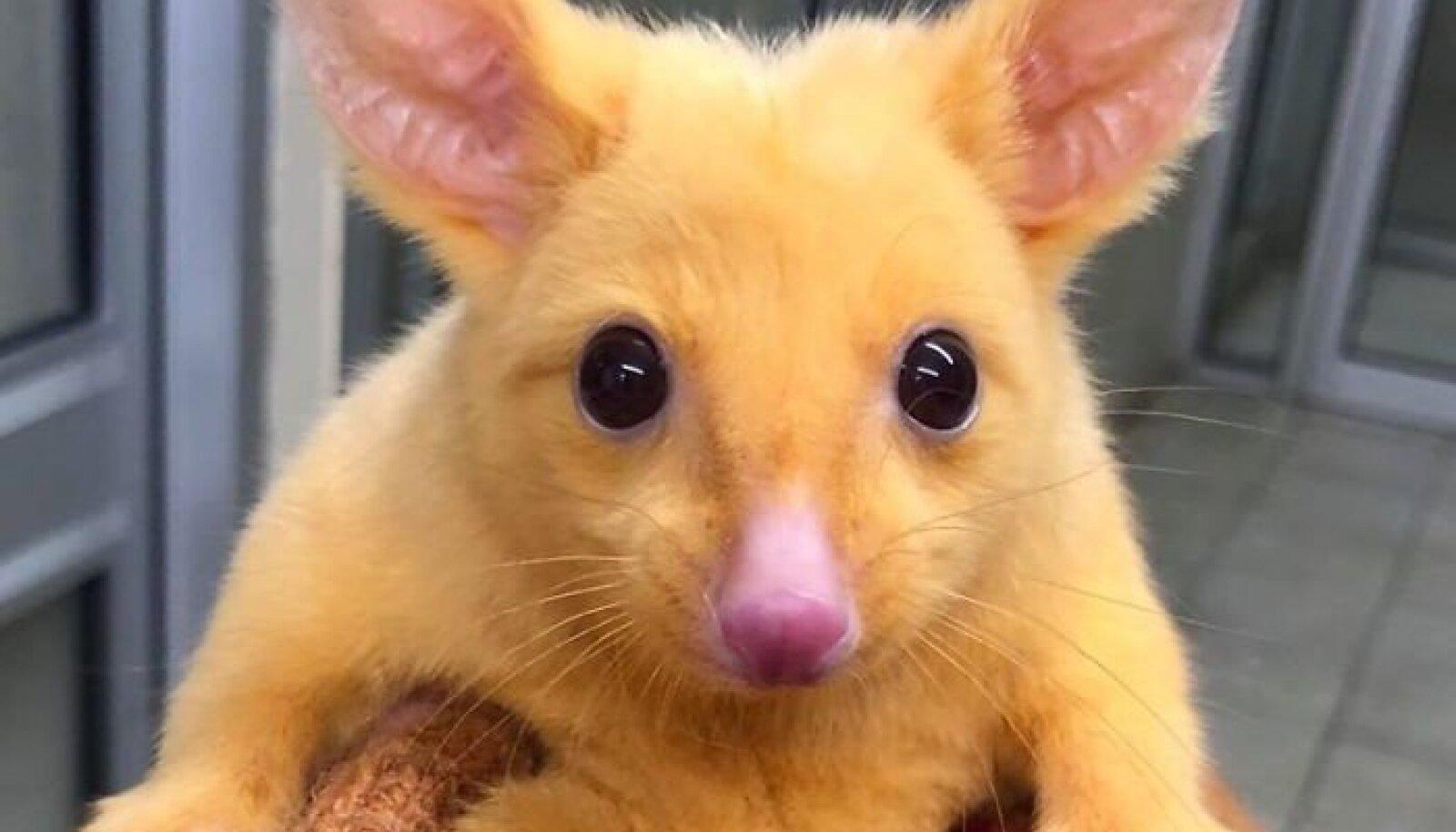Haruldane kuldne opossum