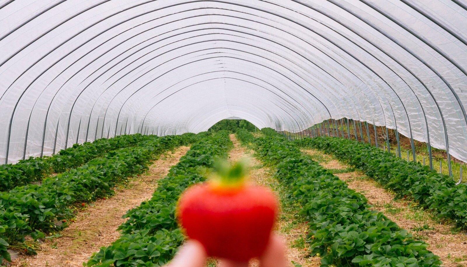 2017. aastal valiti rahvapõllumeheks AranFarmingu omanik, maasikakasvataja Paavo Otsus.