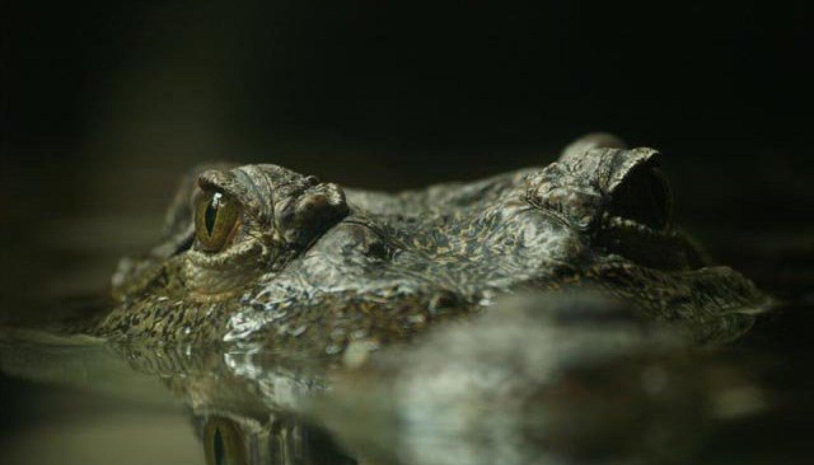 Siiami krokodill
