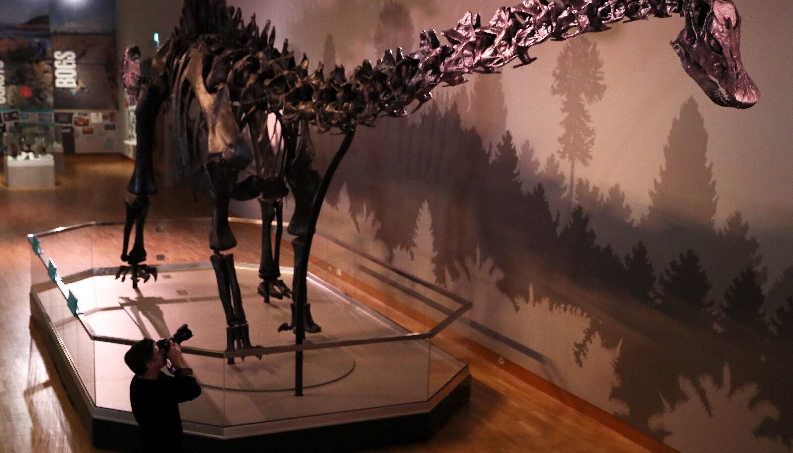 Diplodookuse skeleti kipsist replika Belfastis