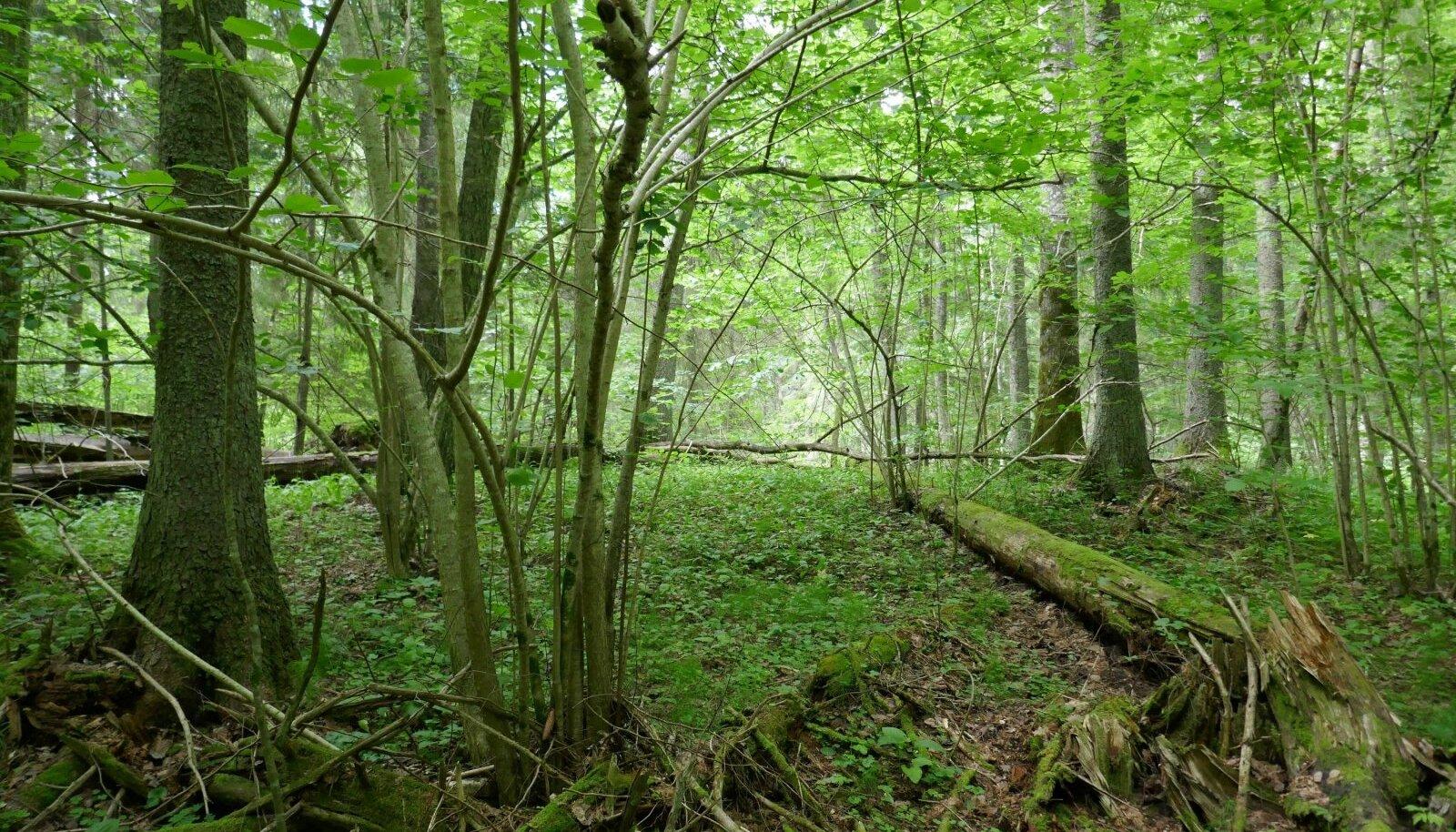 Vääriselupaik Pärnumaal riigimetsas. Kuna sellised metsad on paljude liikide koduks, on oluline, et neid vääriselupaigana ka kaitstaks.