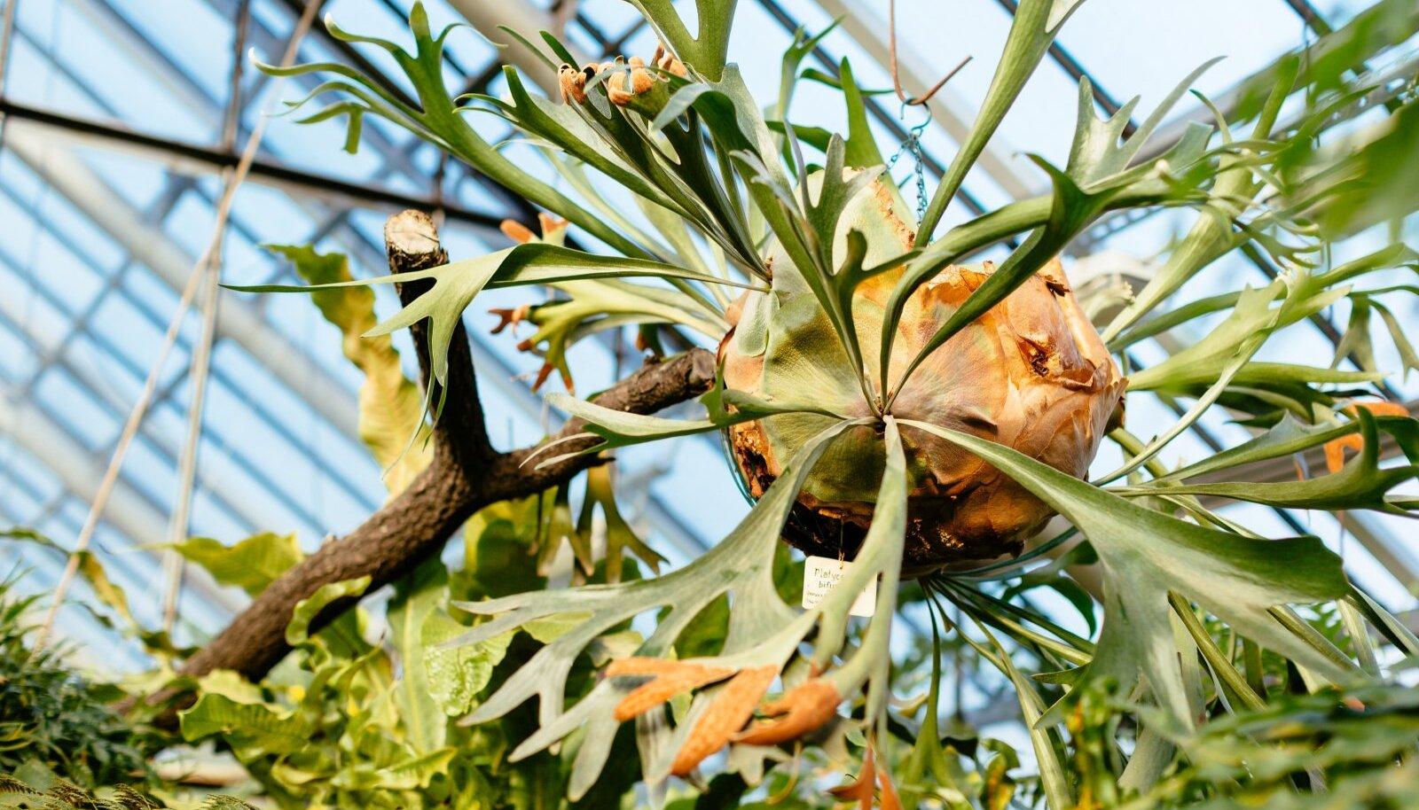 Sarvsõnajalad on looduses kohastunud ise oma kasvusubstraati püüdma ning kui nad esialgu vajavadki potti, siis hilisemas elus võivad ka täiesti ilma selleta hakkama saada.