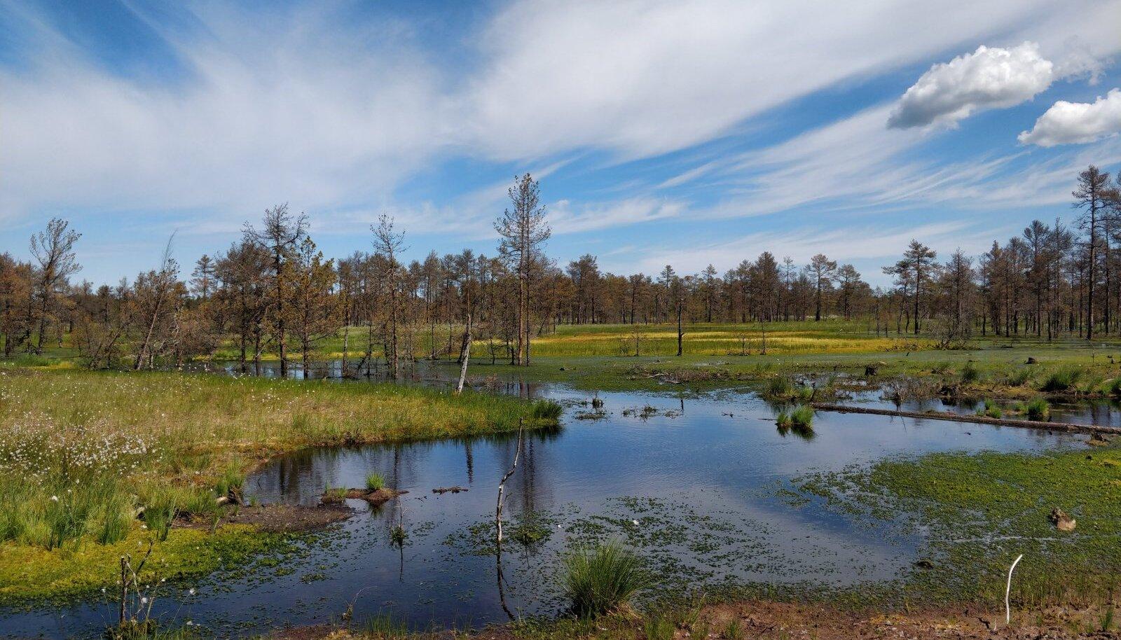 На экскурсии по болоту Лаукасоо можно будет увидеть первые результаты работ по восстановлению водного режима – высушенная территория с плотной сетью канав и хилой растительностью превратилась в рай пушицы влагалищной!