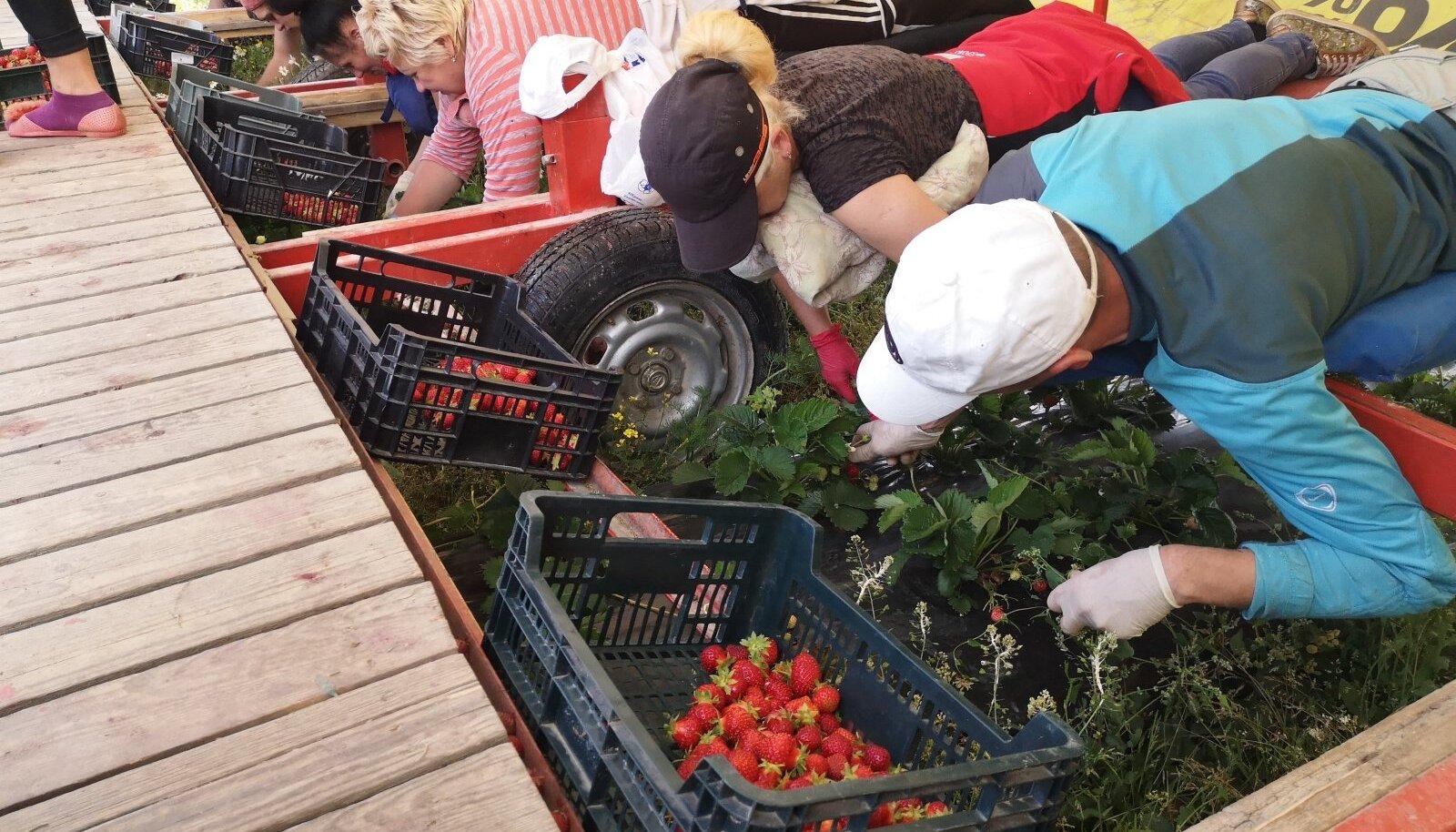 Kui COVID-19 viiruse tõttu ootamatuid piiranguid ei tule, pääseb tänavu hoopis rohkem võõrtöölisi meie maasikapõldudele appi. Pildil Ukraina töölised Marimarta OÜ maasikapõllul 2020. aasta juulis.