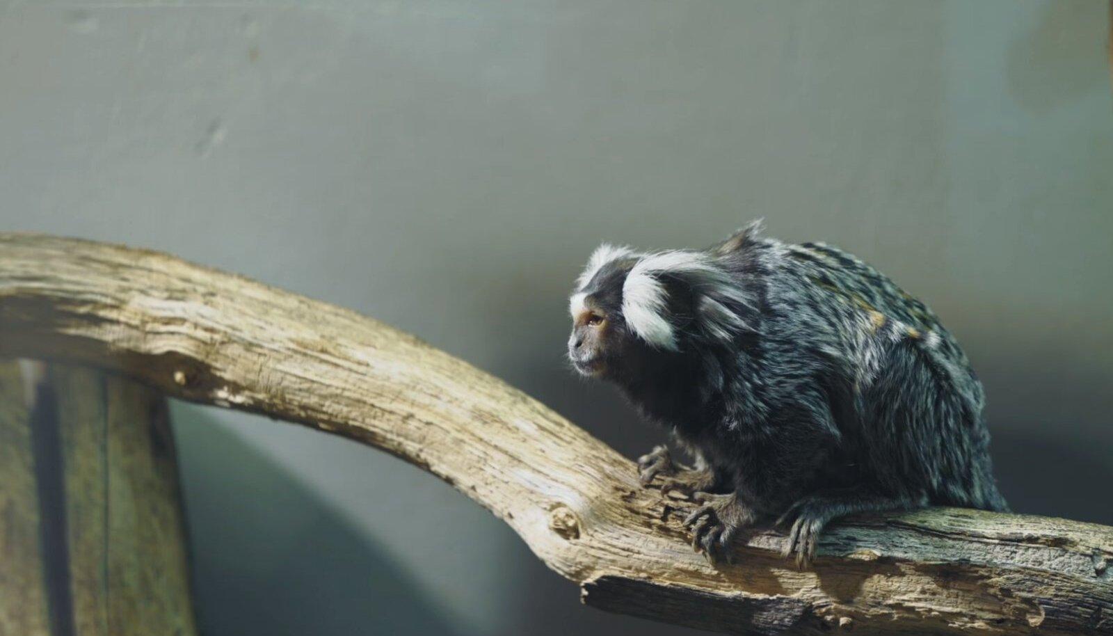 Valgetups-marmosett