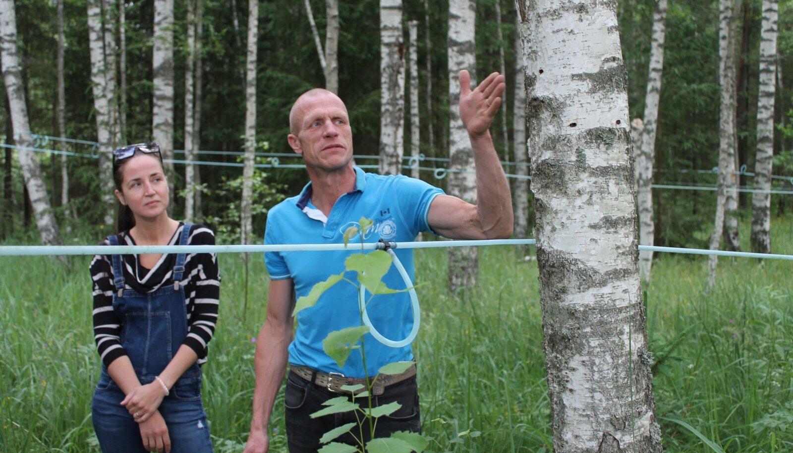 Rain Komlev ja Birgit Lõhmus-Komleva näitavad, kuidas mahlakogumine kaasikus käib.