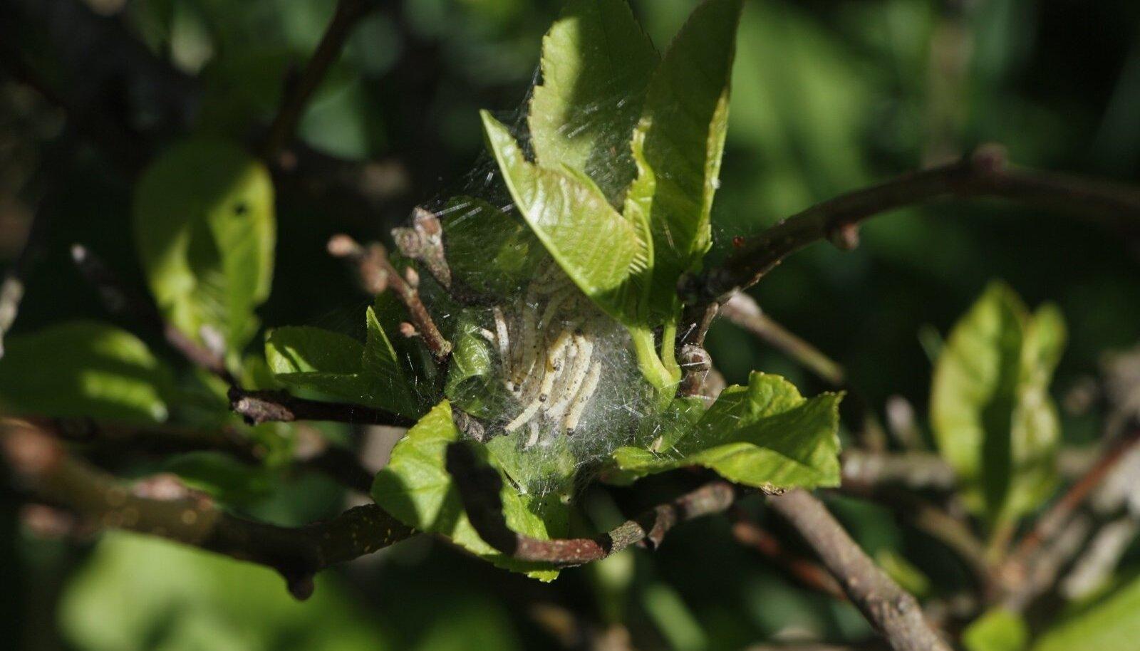 Toominga-võrgendikoi röövikud on isukad ning söövad sageli puu lehtedest paljaks.