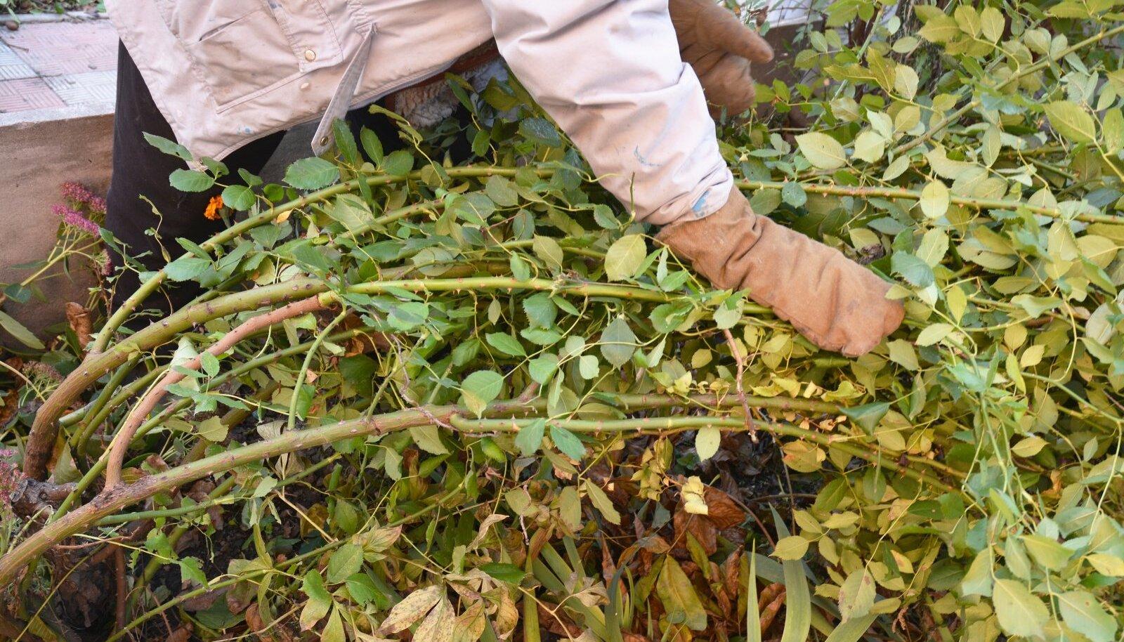 Külmumata maal pole mõtet roose katma kiirustada, sest liigne soojus pole taimedele hea, kuid seenhaigused hindavad seda.