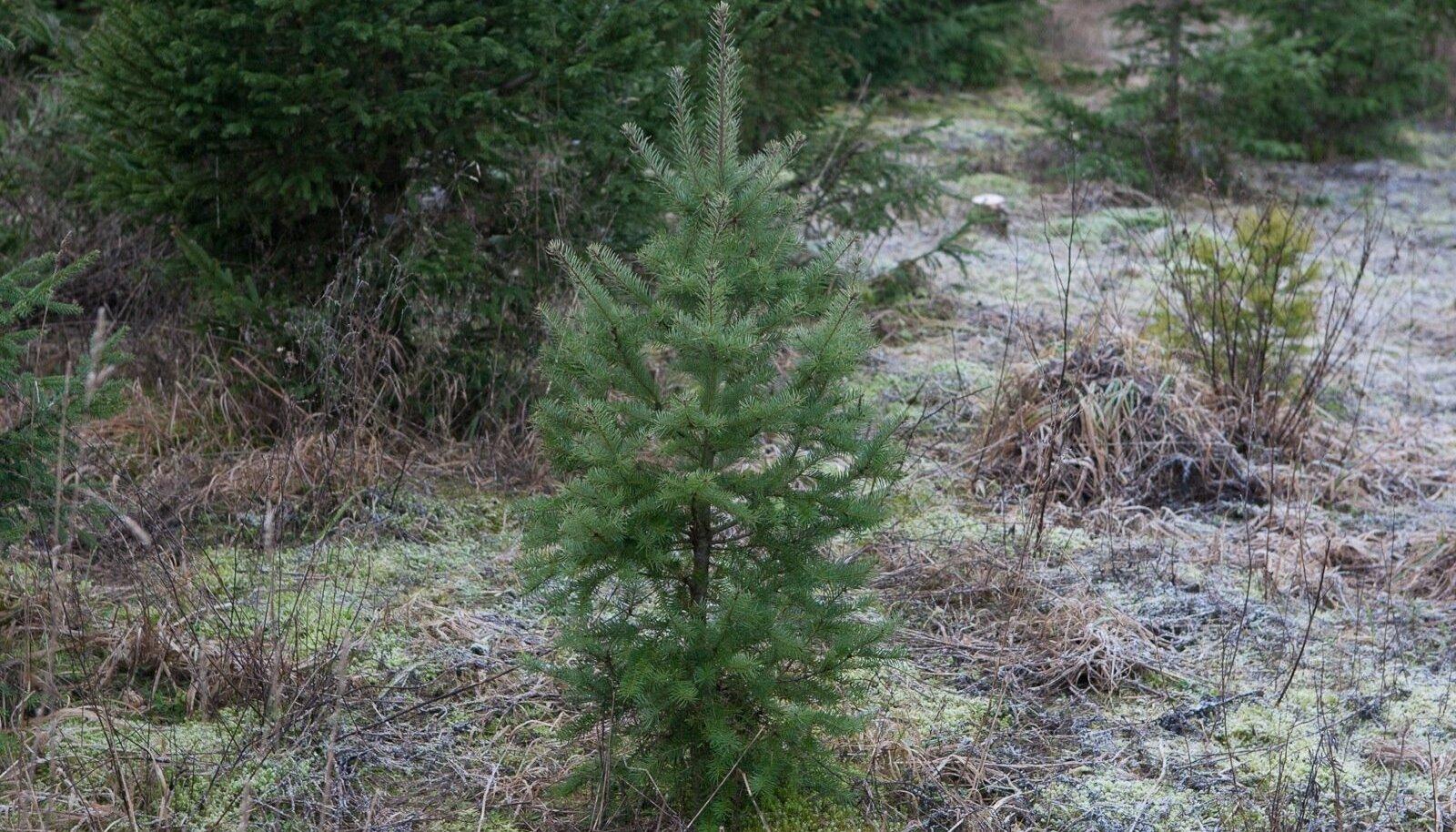 Praegu kuluks selle kuusekese raieküpseks saamiseni 80 aastat. Elu näitab, et siis on puu sisemuse juba vallutanud mädanik. Metsaseaduse muudatus lubab raiuda juba ka 60 aasta vanuseid kuuski.