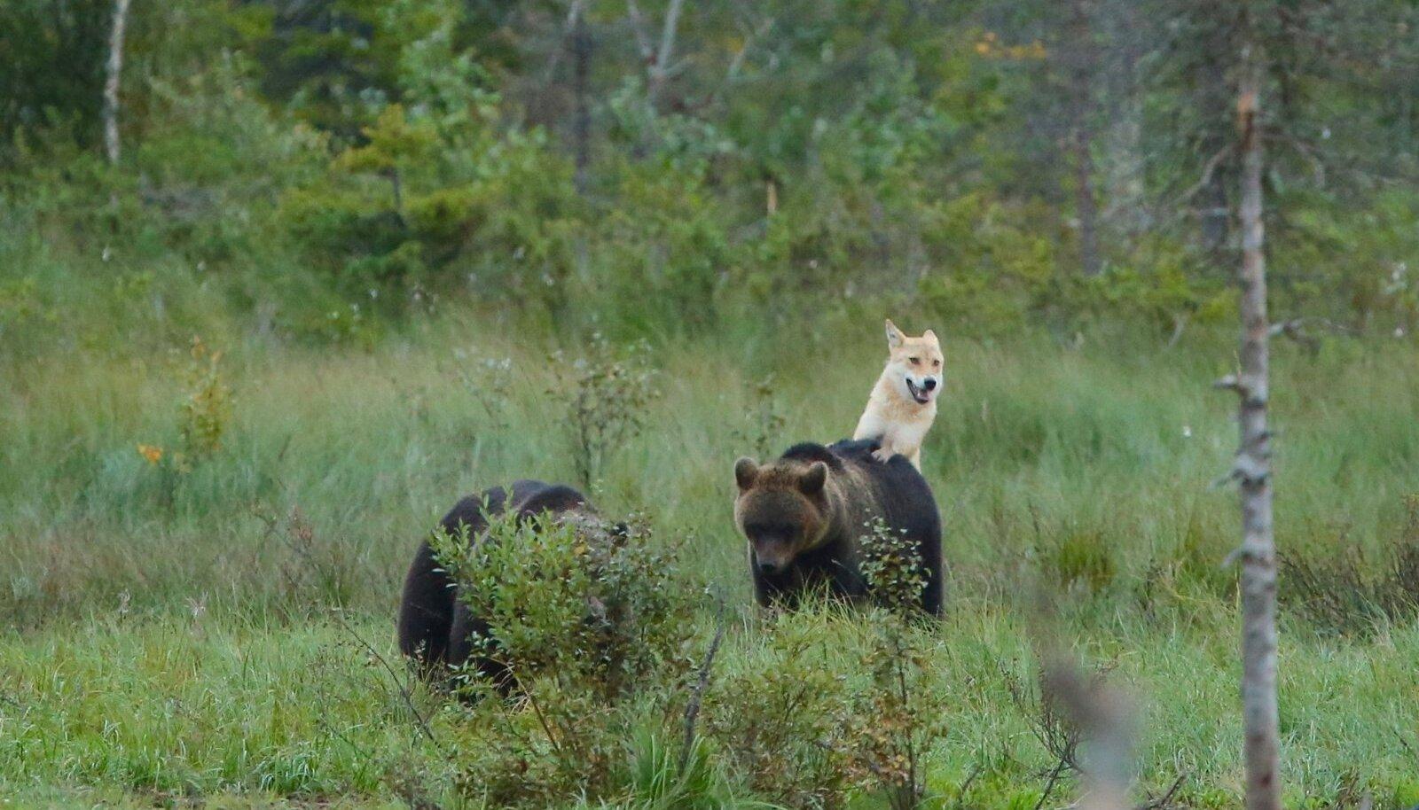 Harrastusfotograaf Pekka Toivonen tabas hundi karudega mängimas