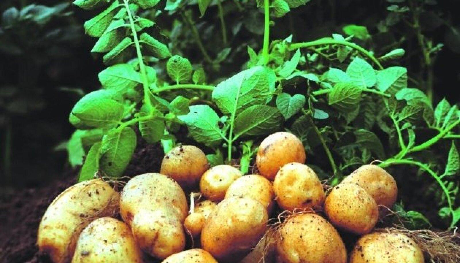 GM kartul Amflora