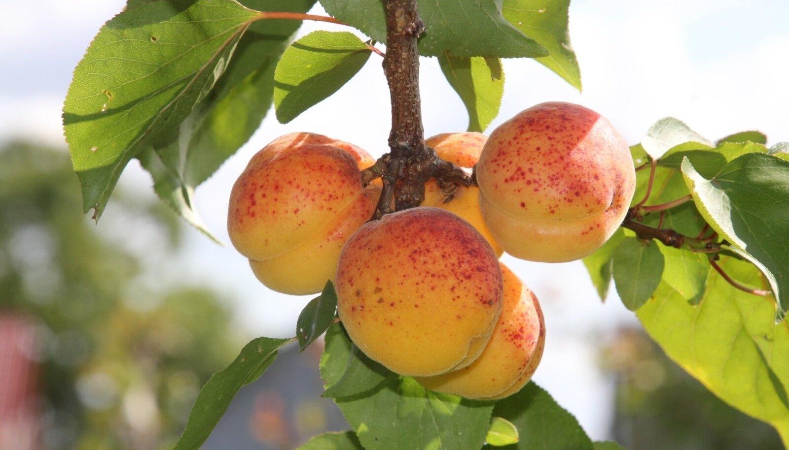 Harilik aprikoosipuu (Armeniaca vulgaris)
