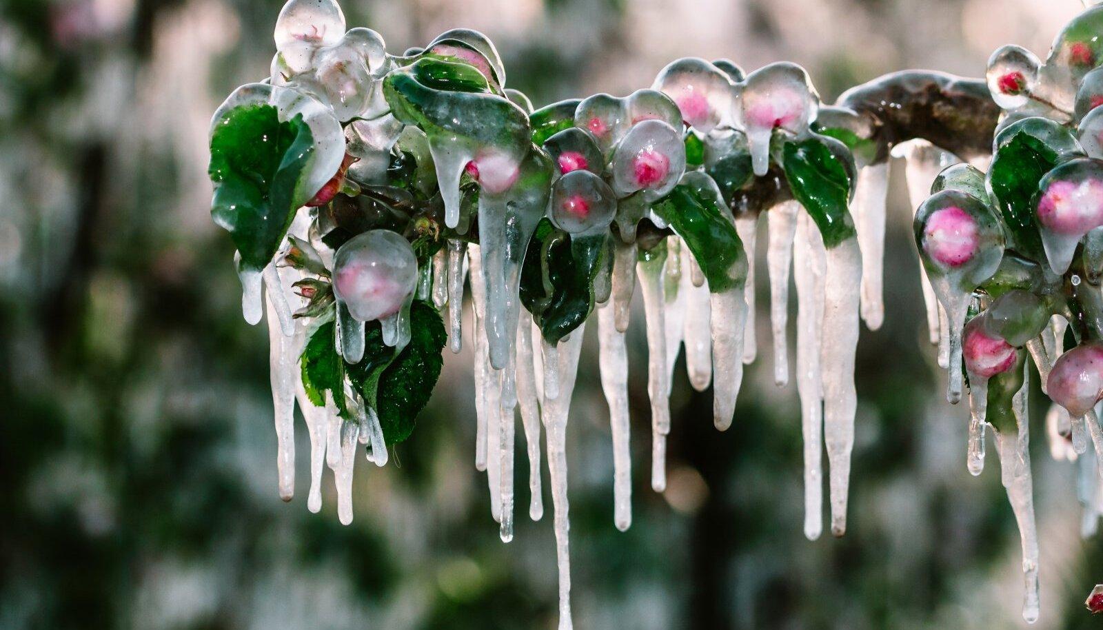 Ootamatu külma korral saavad kõige enam kahjustusi juba korralikult kasvama hakanud viljapuud.