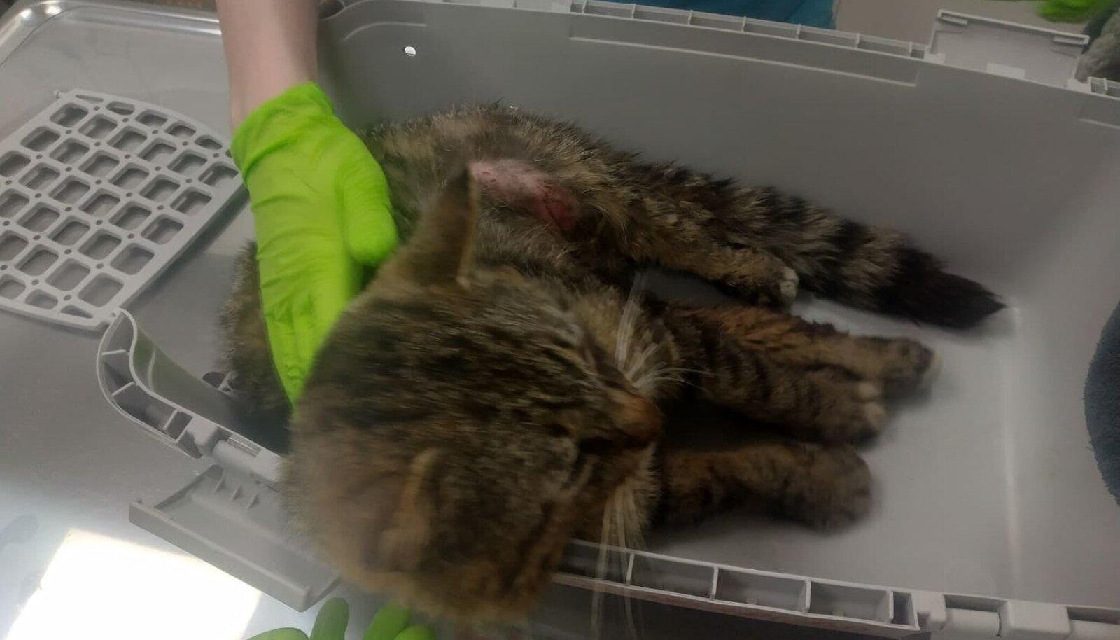 Tihemetsas tapetud kass