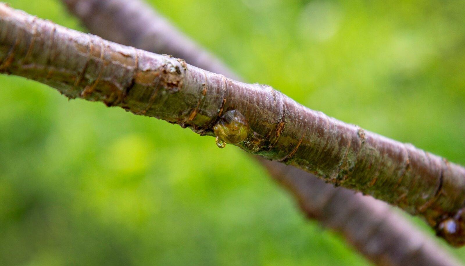 Viljapuu kummivoolus vihjab ebasoodsatele kasvutingimustele.