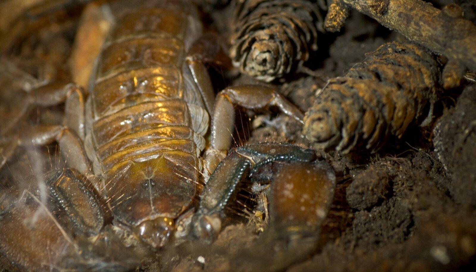 Skorpion (foto on illustratiivne)