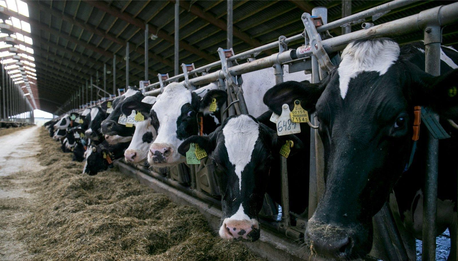 Väätsa farmikompleksis on praegu üle 2000 lehma, aasta lõpuks lisandub veel 500.