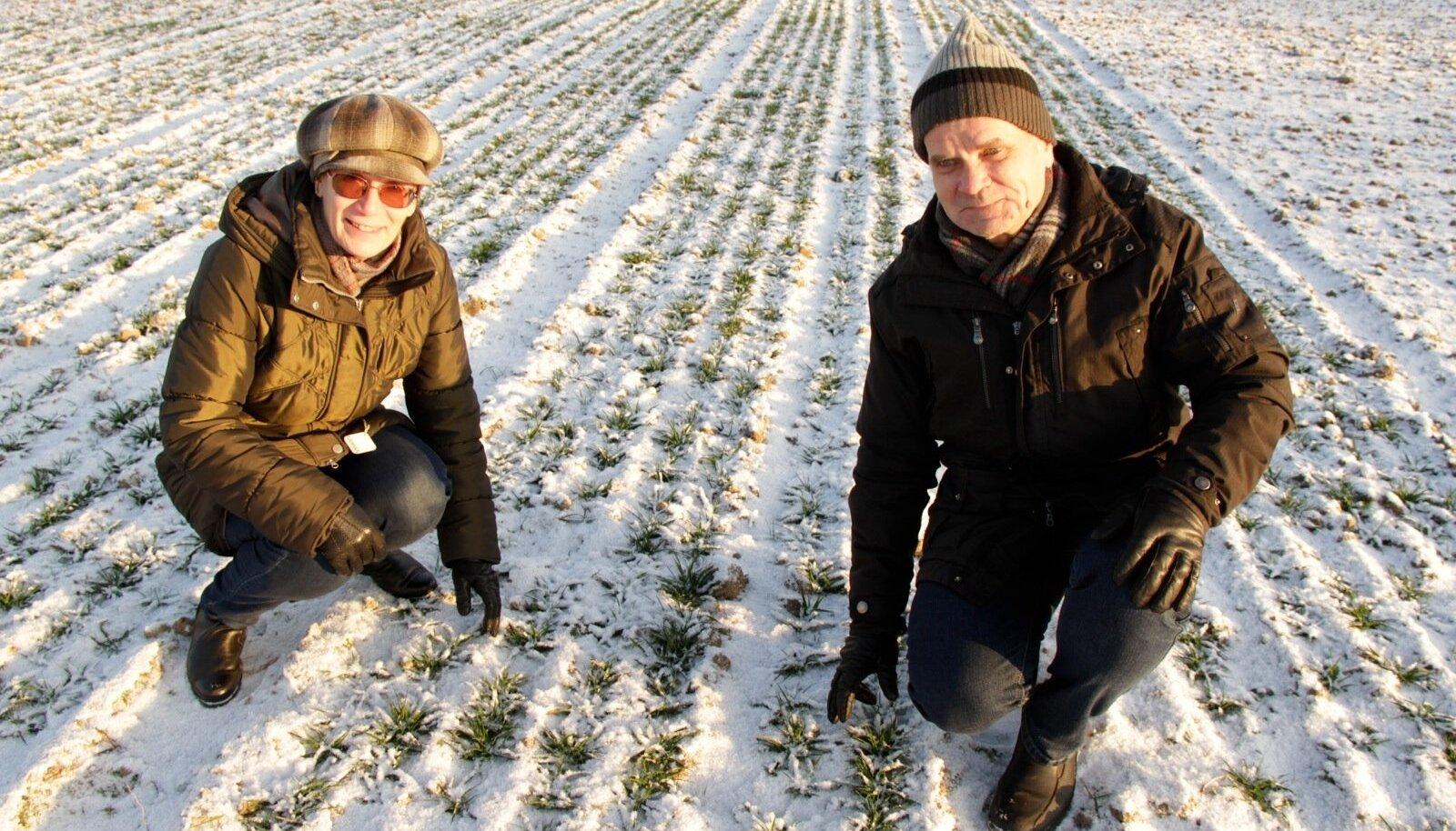 ETKI vanemteadur Ülle Tamm ja ETKI Jõgeva sordiaretuse osakonna juhataja Ilmar Tamm kontrollivad talikaerapõldu.