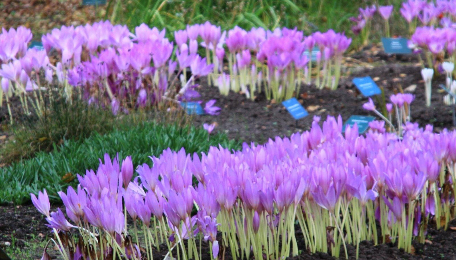 Sügislilled võivad tihedalt koos kasvades moodustada erksaid lillasid laike.